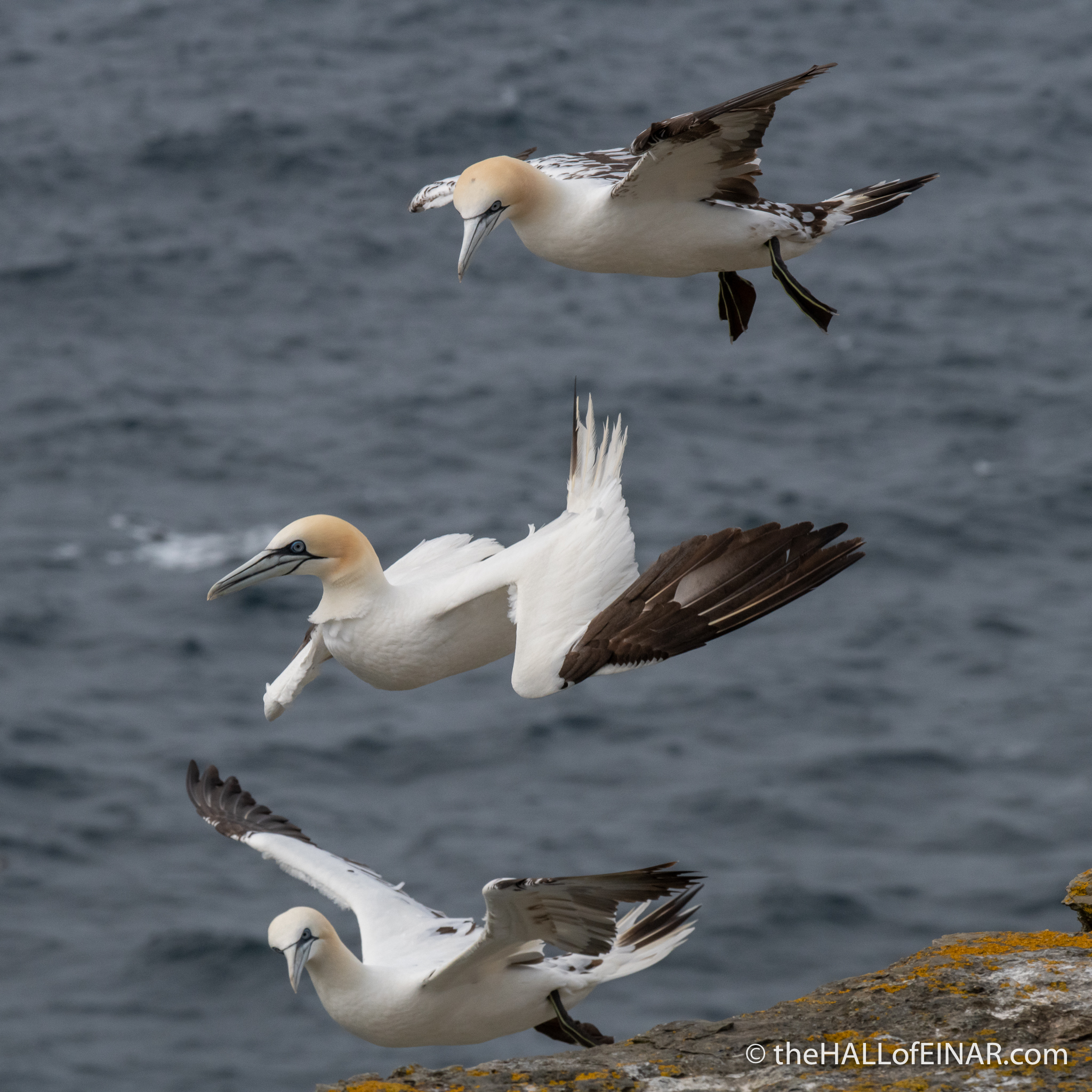 Gannets - The Hall of Einar - photograph (c) David Bailey (not the)