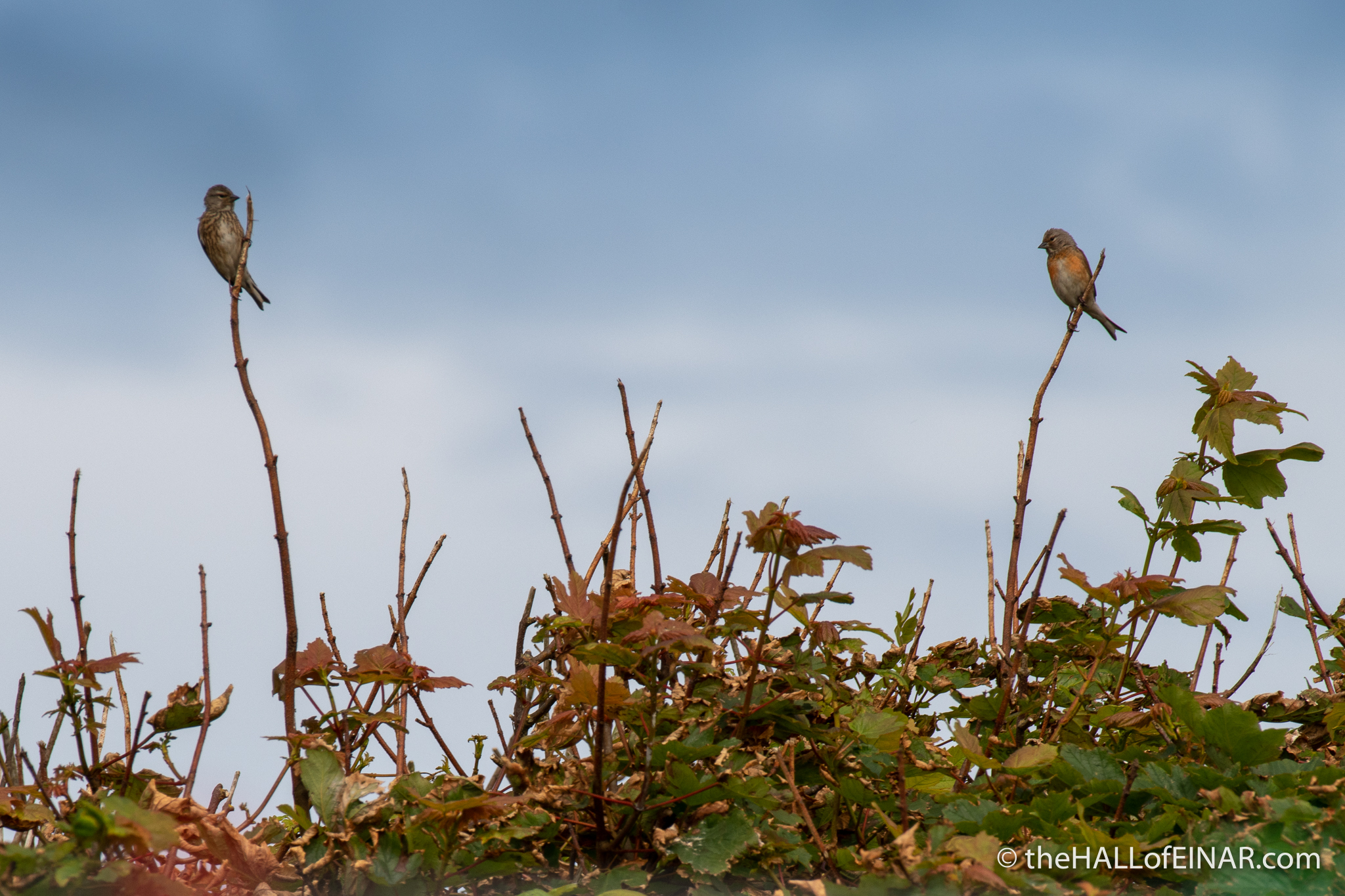 Linnets - The Hall of Einar - photograph (c) David Bailey (not the)