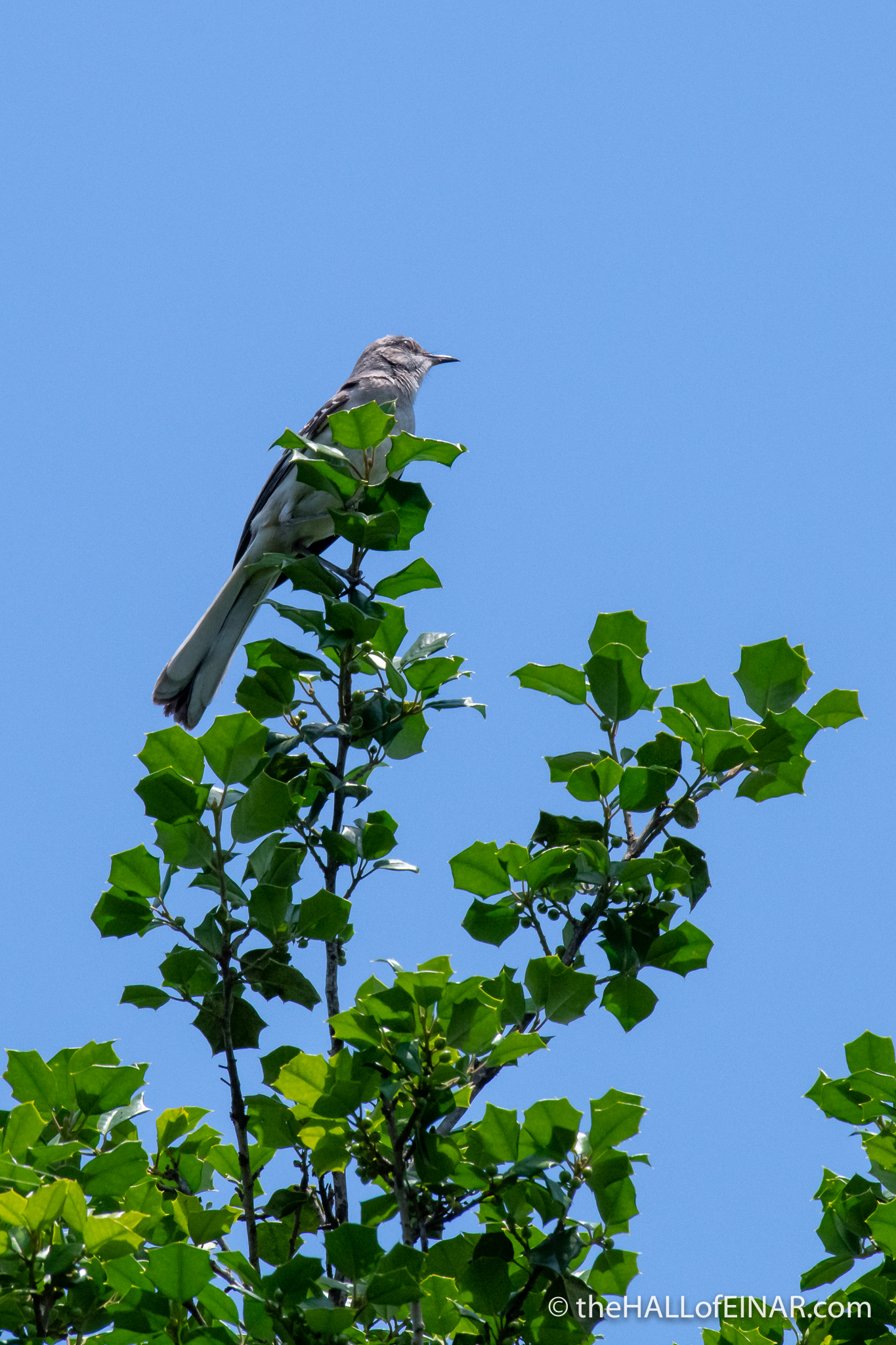 Northern Mockingbird - The Hall of Einar - photograph (c) David Bailey (not the)