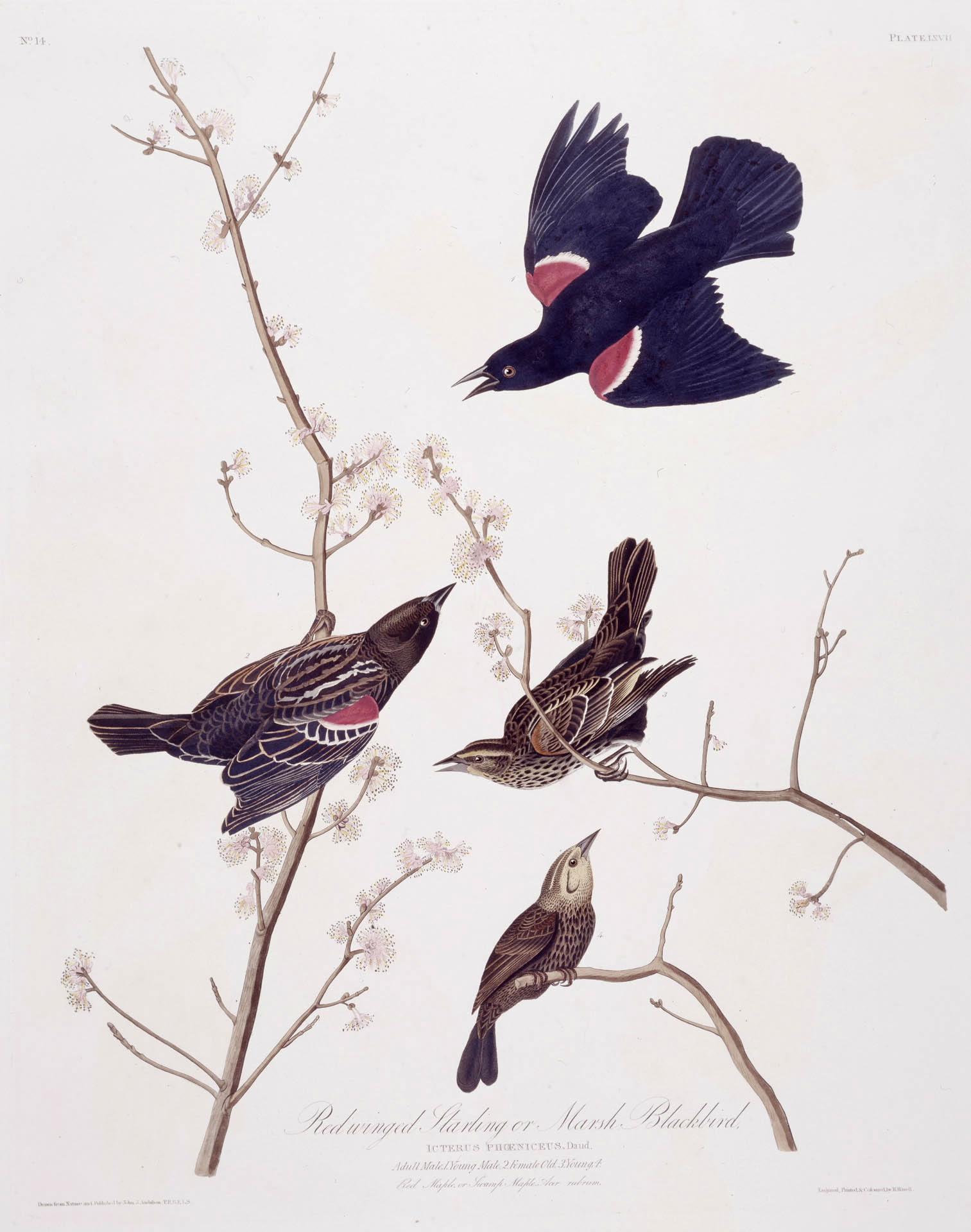 Audubon - Red Winged Blackbird