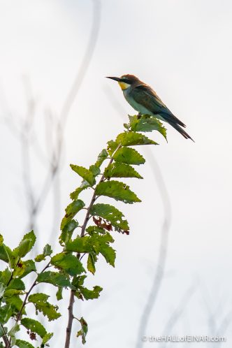 Bee Eaters - The Hall of Einar - photograph (c) David Bailey (not the)