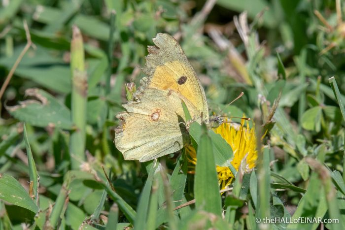 Clouded Yellow - The Hall of Einar - photograph (c) David Bailey (not the)