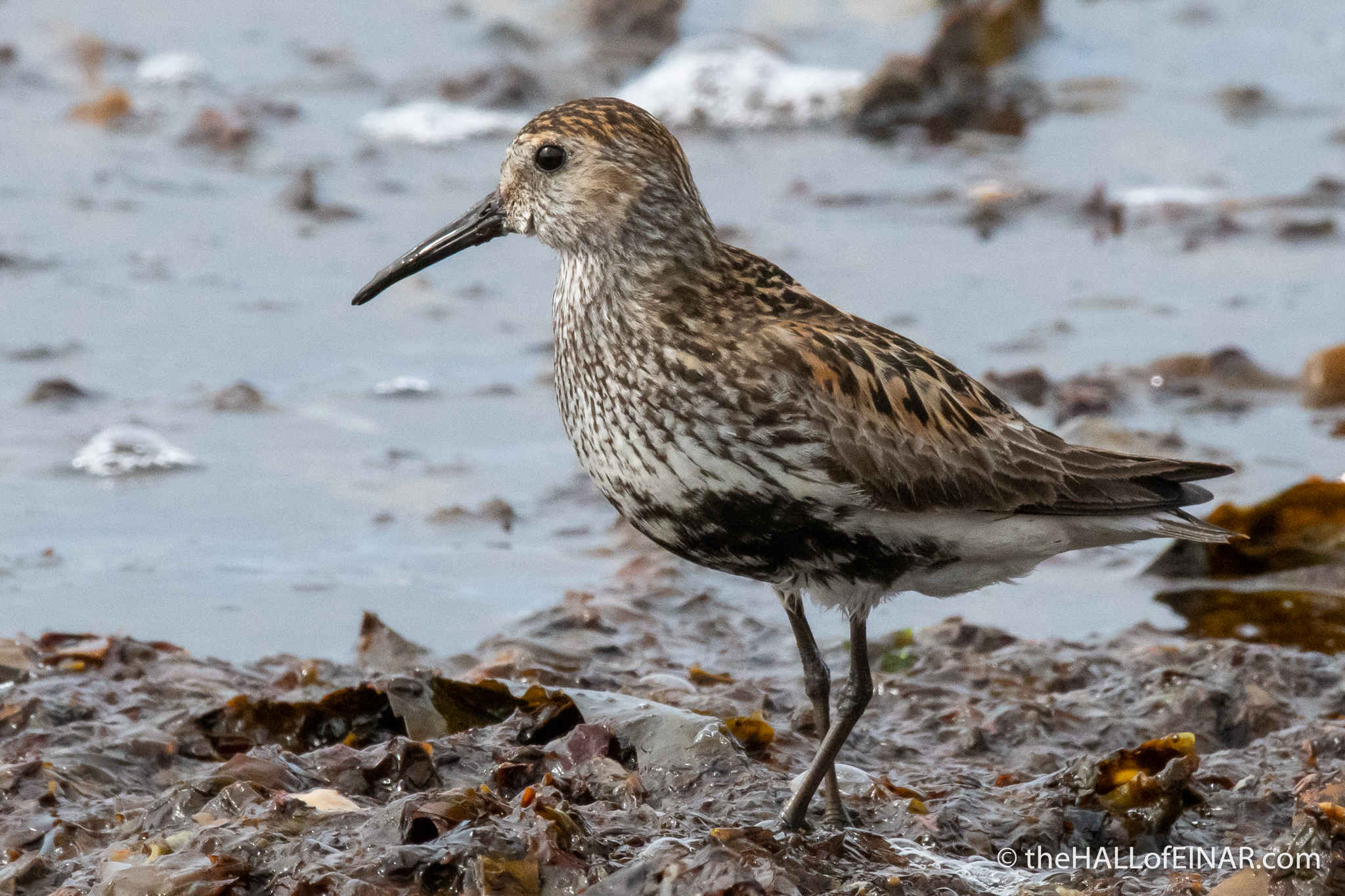 Dunlin - The Hall of Einar - photograph (c) David Bailey (not the)