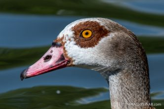 Egyptian Goose - The Regent's Park - The Hall of Einar - photograph (c) David Bailey (not the)