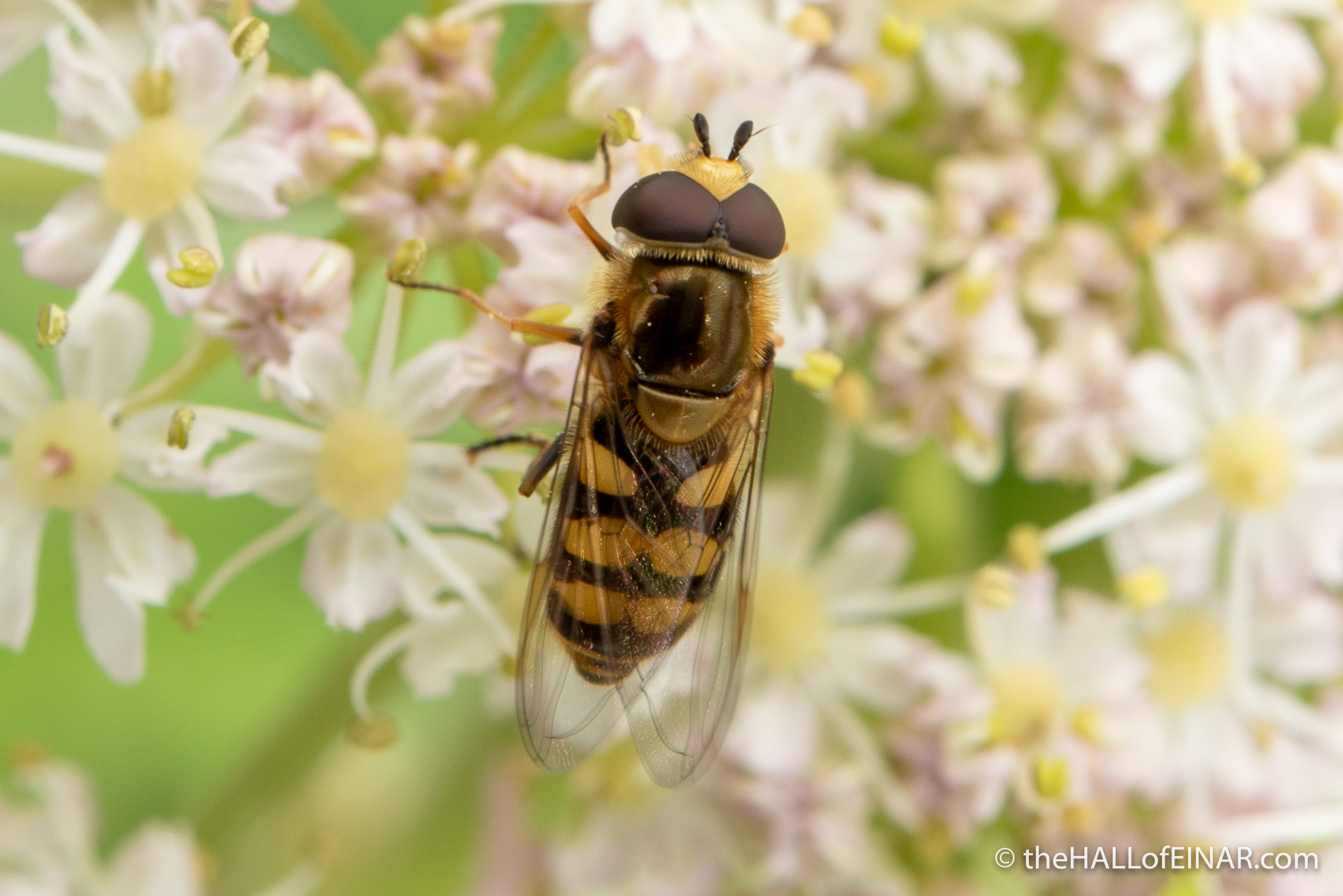 Eupeodes corollae - Hoverfly - photograph (c) David Bailey (not the)