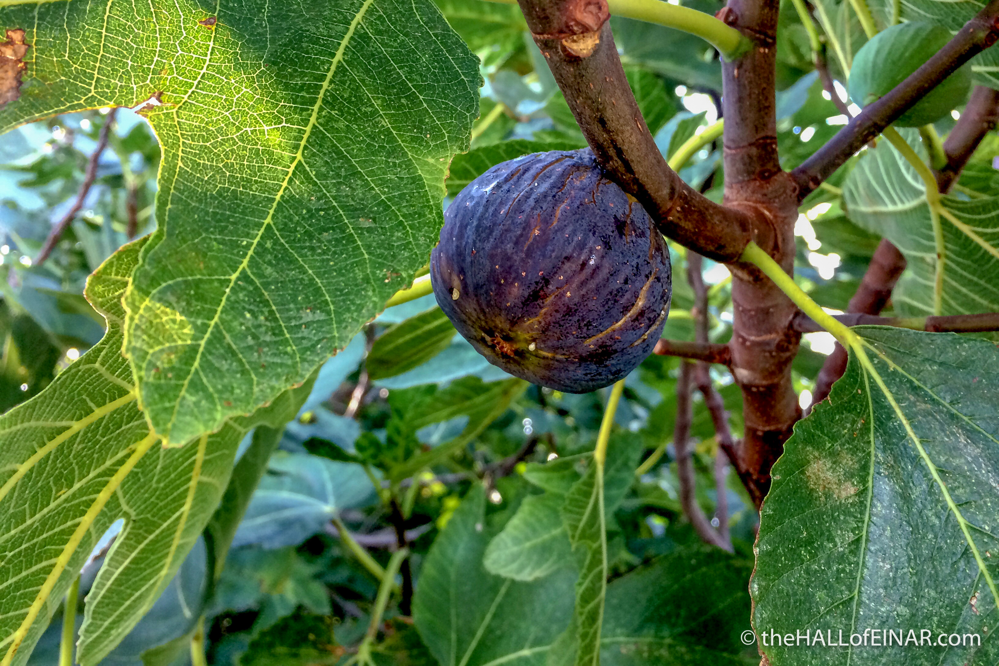 Figs - The Hall of Einar - photograph (c) David Bailey (not the)