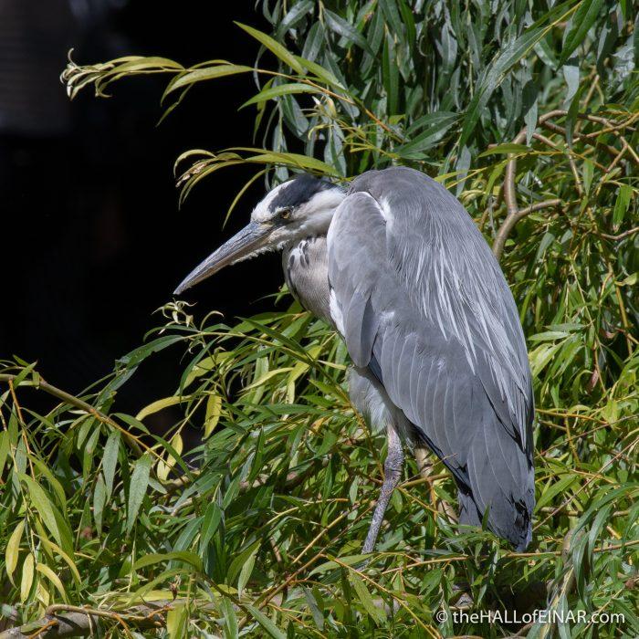 Grey Heron - The Hall of Einar - photograph (c) David Bailey (not the)