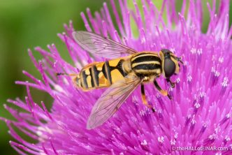 Helophilus pendulus - Hoverfly - photograph (c) David Bailey (not the)