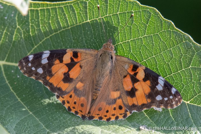 Painted Lady Butterfly - The Hall of Einar - photograph (c) David Bailey (not the)