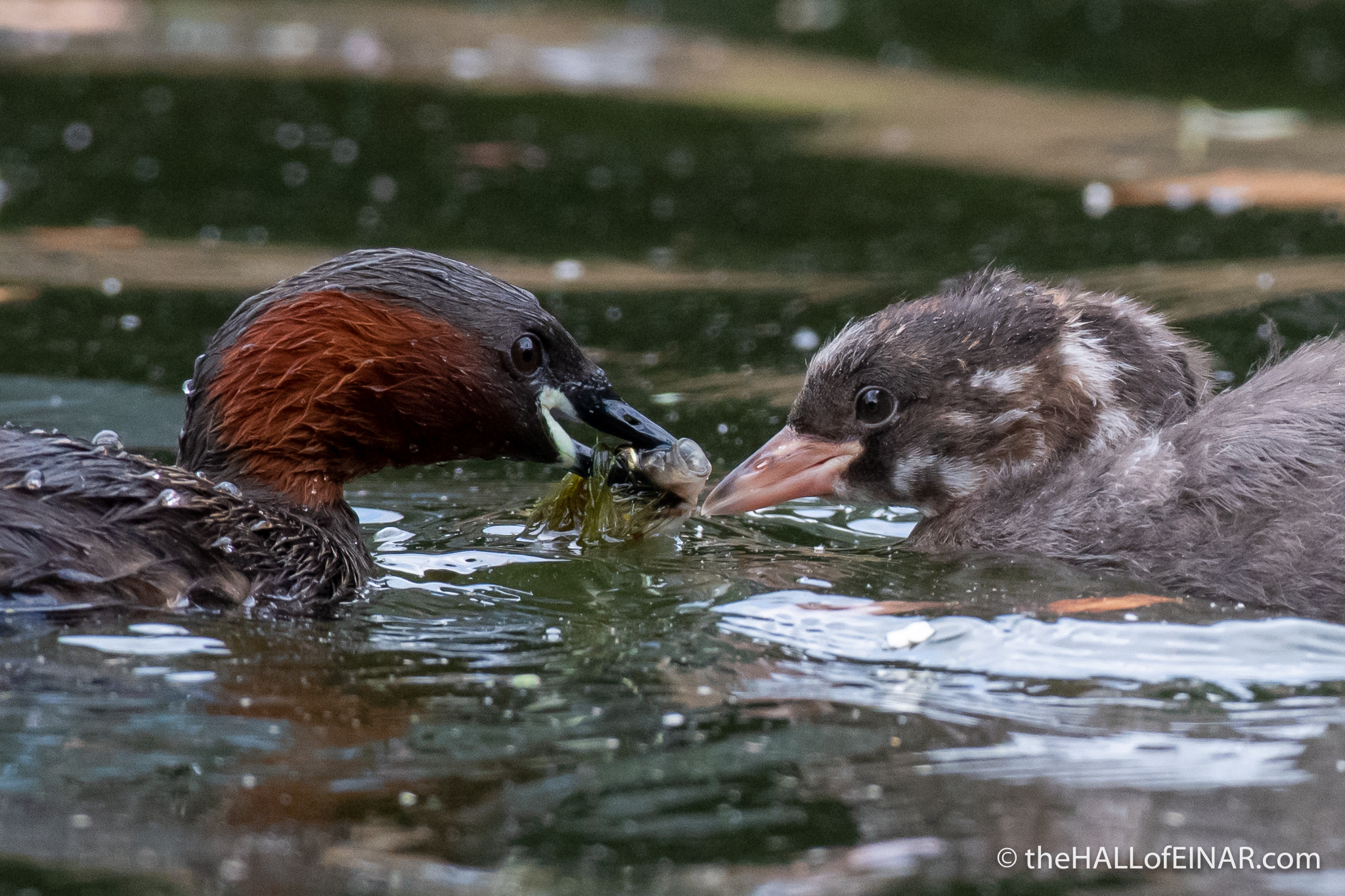Little Grebe - The Hall of Einar - photograph (c) David Bailey (not the)
