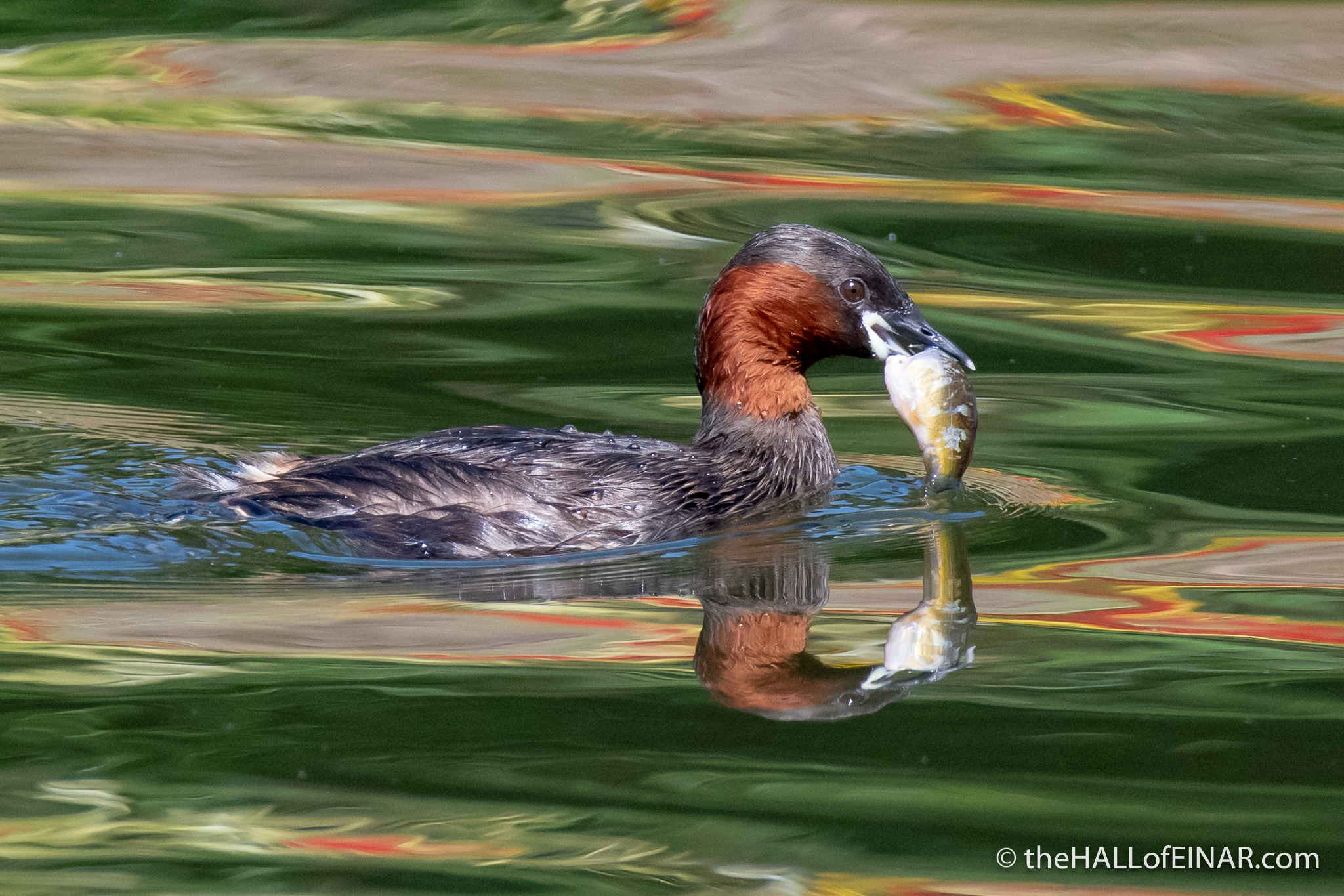 Little Grebe - The Regent's Park - The Hall of Einar - photograph (c) David Bailey (not the)