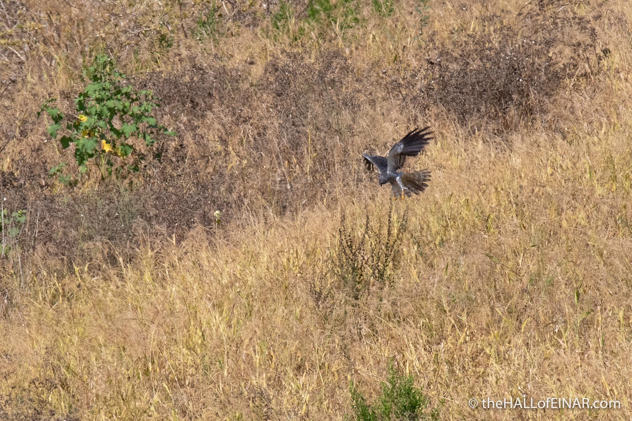 Montagu's Harrier - The Hall of Einar - photograph (c) David Bailey (not the)