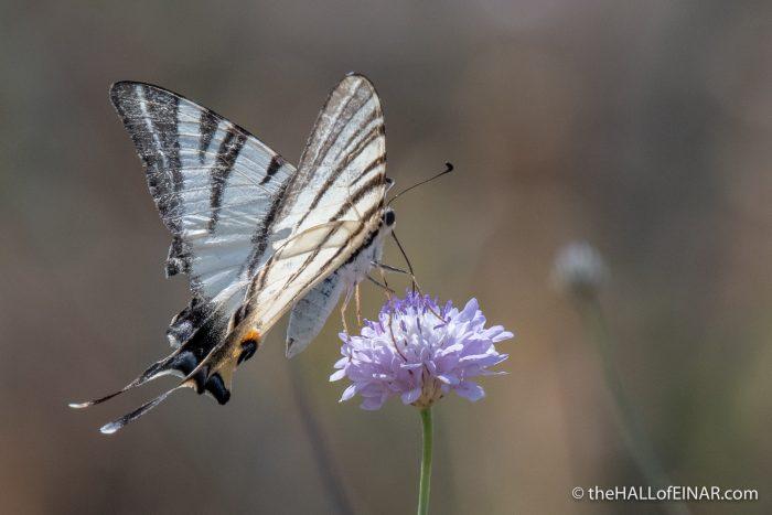 Scarce Swallowtail - The Hall of Einar - photograph (c) David Bailey (not the)