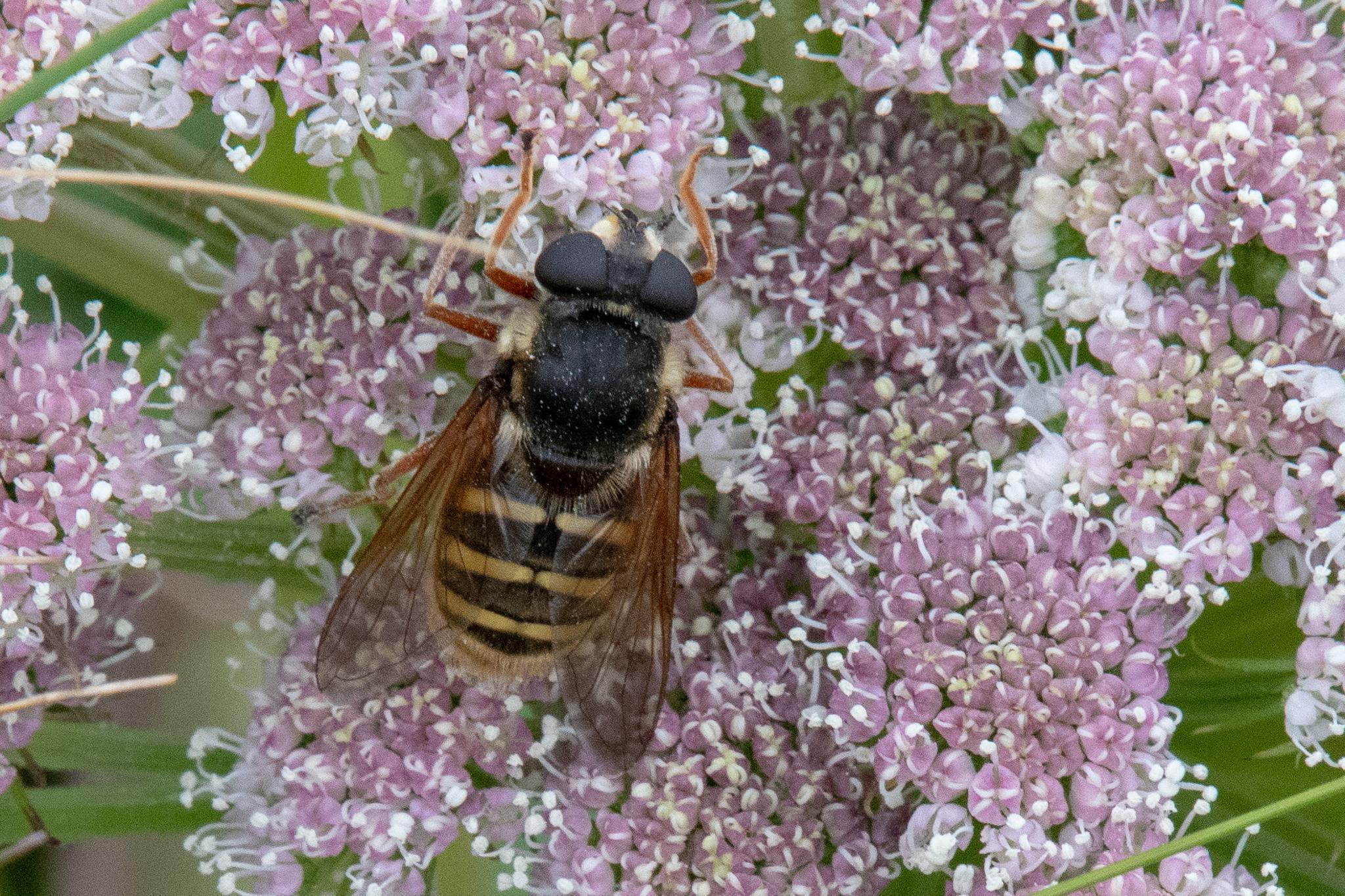 Sericomyia silentis - Hoverfly - photograph (c) David Bailey (not the)