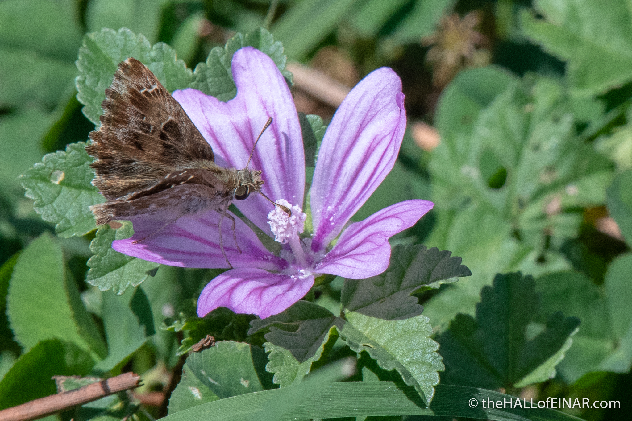 Skipper Butterfly - The Hall of Einar - photograph (c) David Bailey (not the)