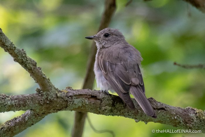 Spotted Flycatcher - The Hall of Einar - photograph (c) David Bailey (not the)