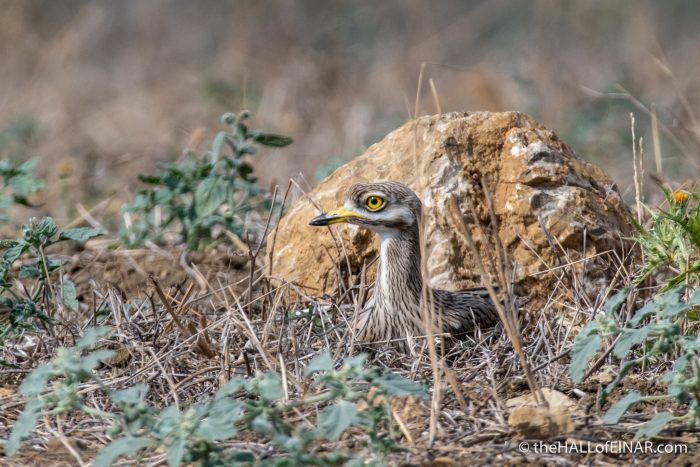 Stone Curlew - The Hall of Einar - photograph (c) David Bailey (not the)