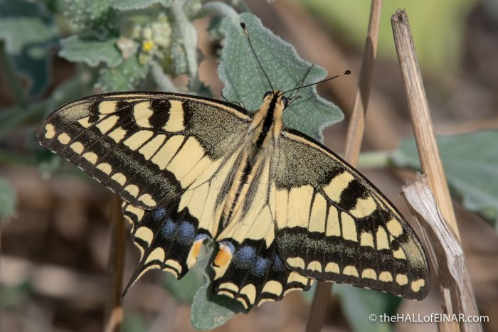 Swallowtail Butterfly - The Hall of Einar - photograph (c) David Bailey (not the)