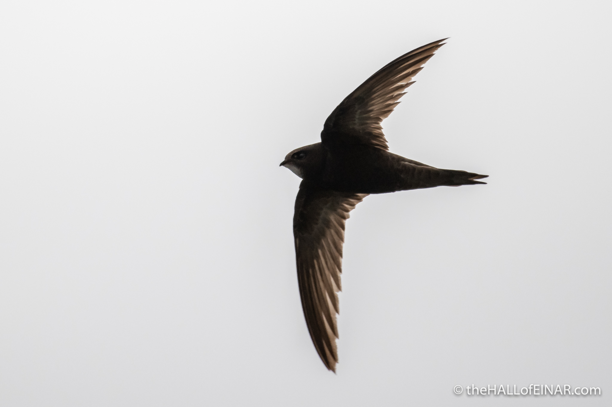 Swift - Westray - photograph (c) David Bailey (not the)