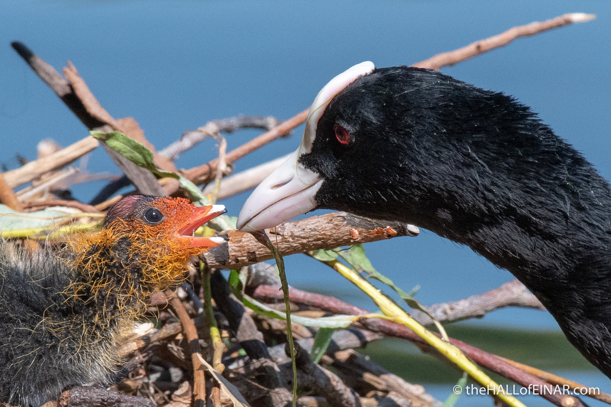 Coot on nest - The Hall of Einar - photograph (c) David Bailey (not the)