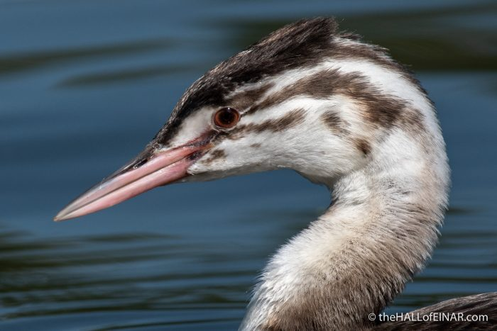 Juvenile Great Crested Grebe - The Hall of Einar - photograph (c) David Bailey (not the)