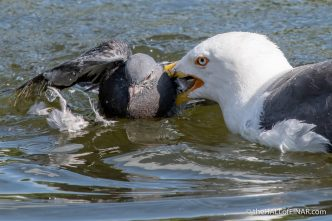 Lesser Black-Backed Gull attack - The Hall of Einar - photograph (c) David Bailey (not the)