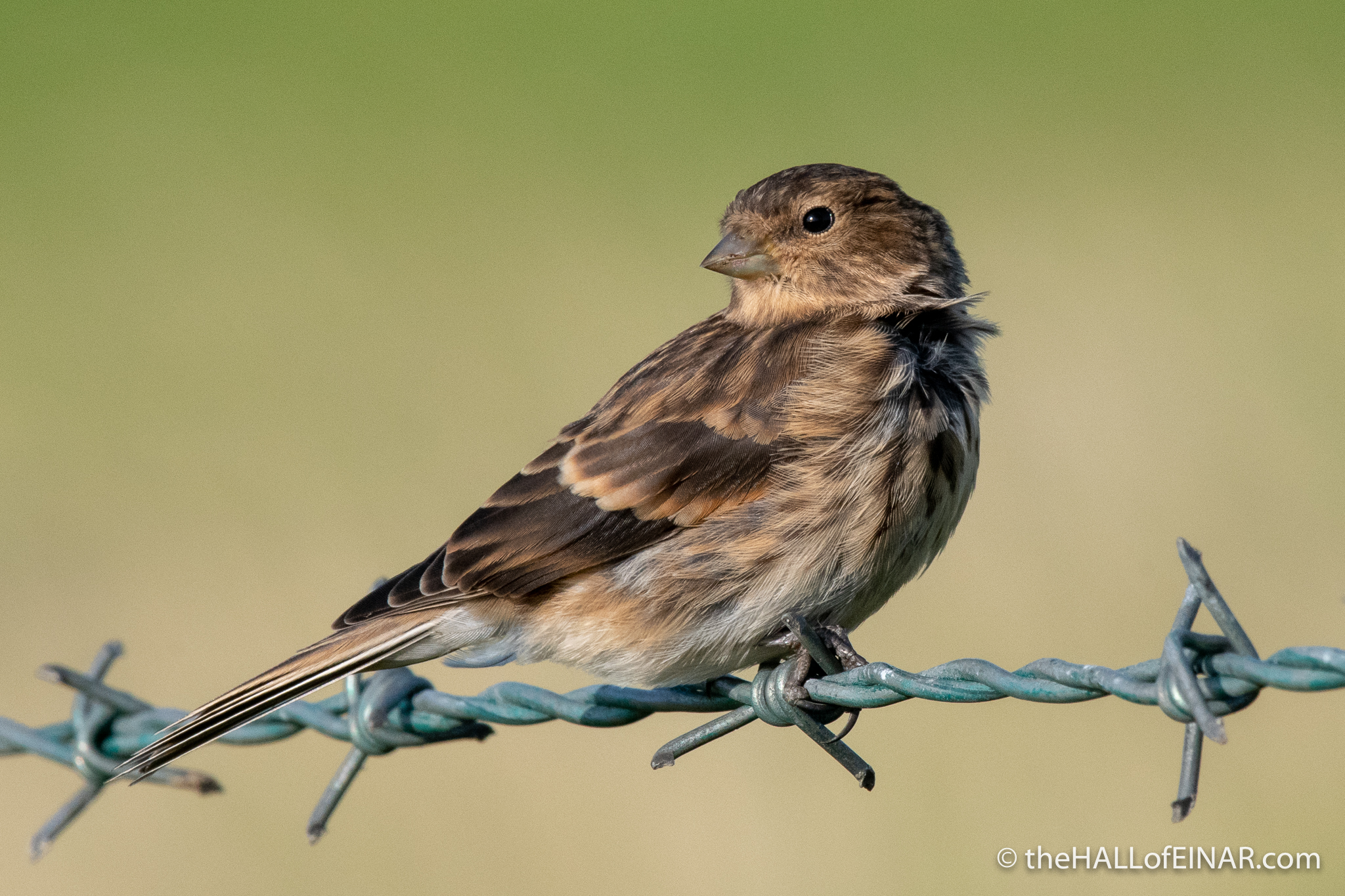 Twite - The Hall of Einar - photograph (c) David Bailey (not the)
