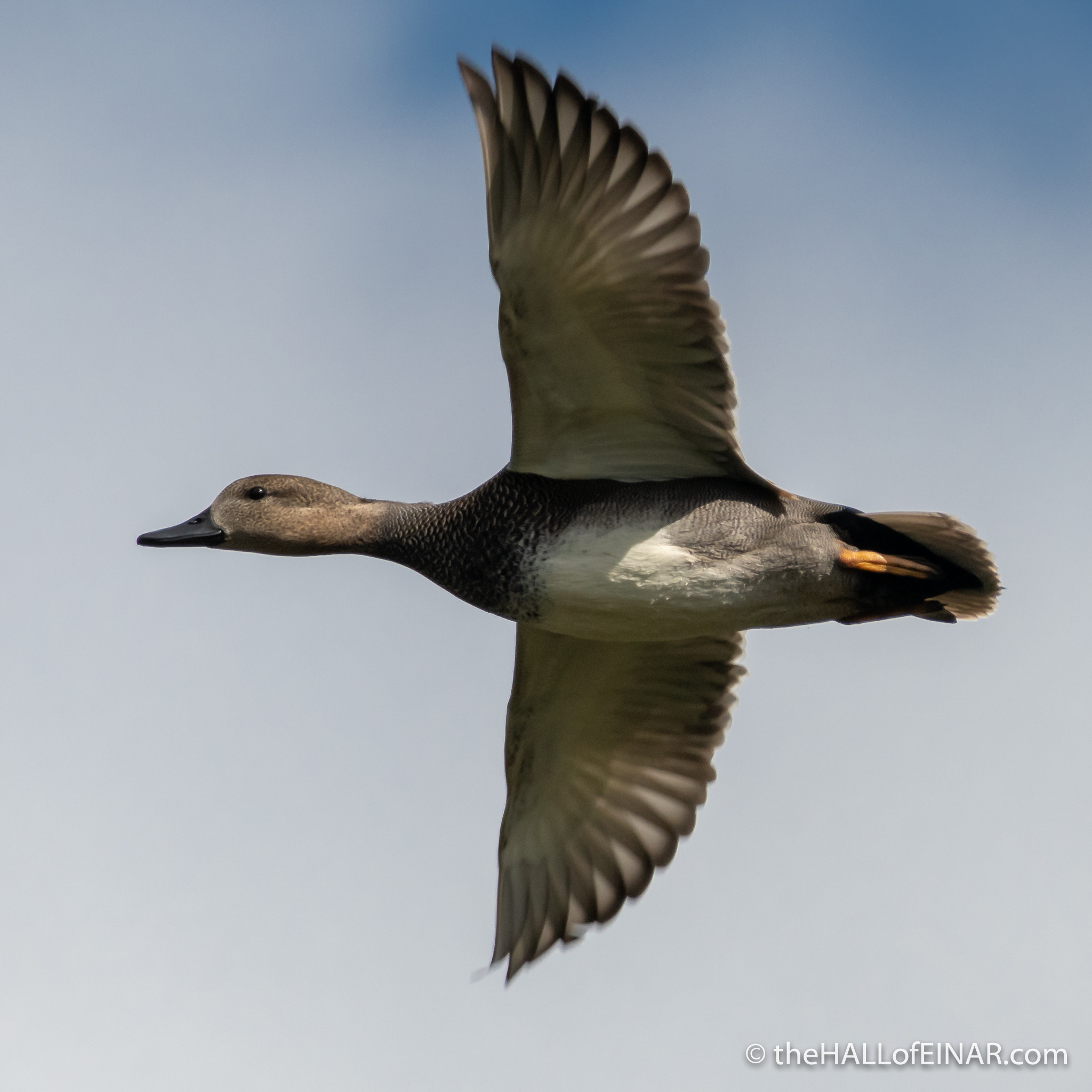 Gadwall at RSPB Ham Wall - The Hall of Einar - photograph (c) David Bailey (not the)