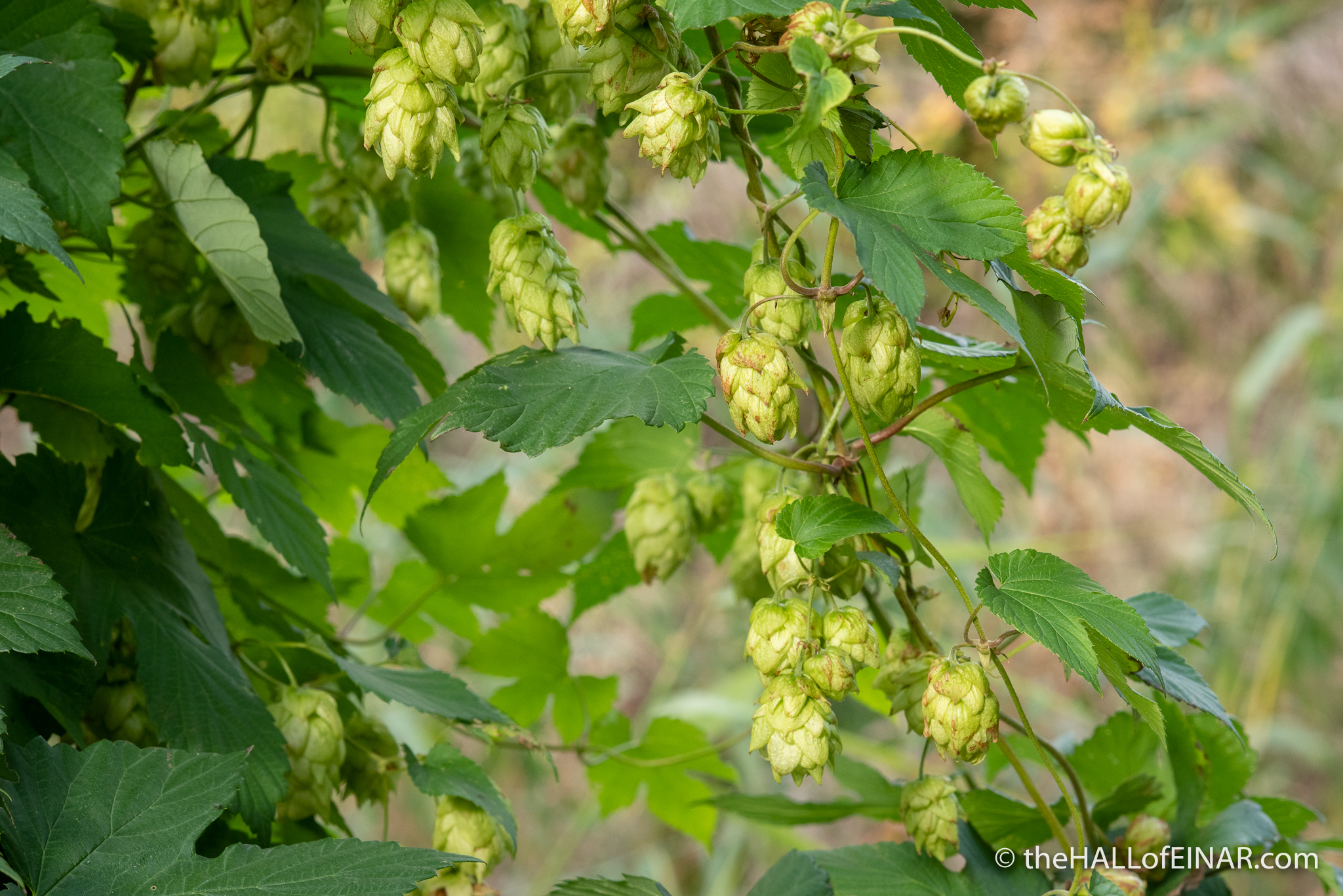 Wild Hops - The Hall of Einar - photograph (c) David Bailey (not the)
