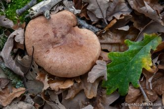Oakbug Milkcap - The Hall of Einar - photograph (c) David Bailey (not the)
