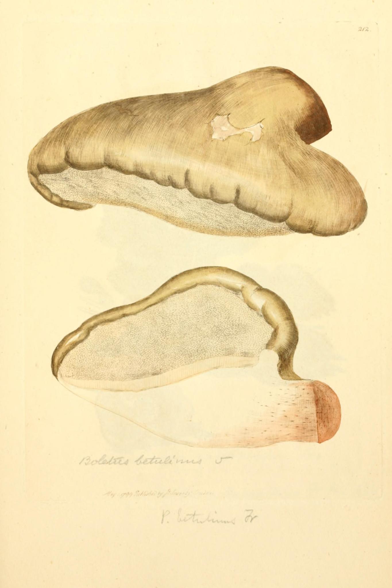 Piptoporous betulinus - The Hall of Einar