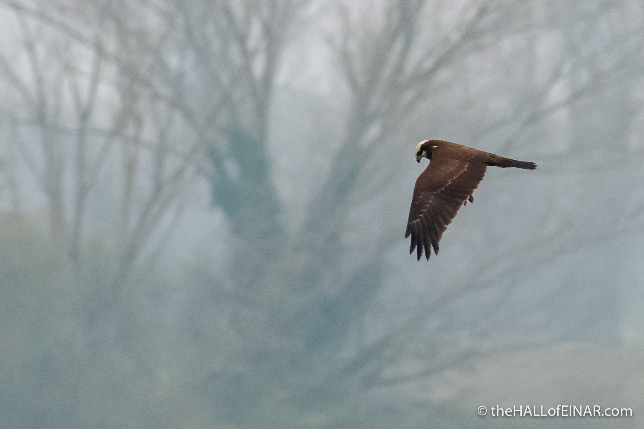 Marsh Harrier in Alviano - The Hall of Einar - photograph (c) David Bailey (not the)