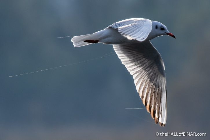 Black Headed Gull - Alviano - The Hall of Einar - photograph (c) David Bailey (not the)