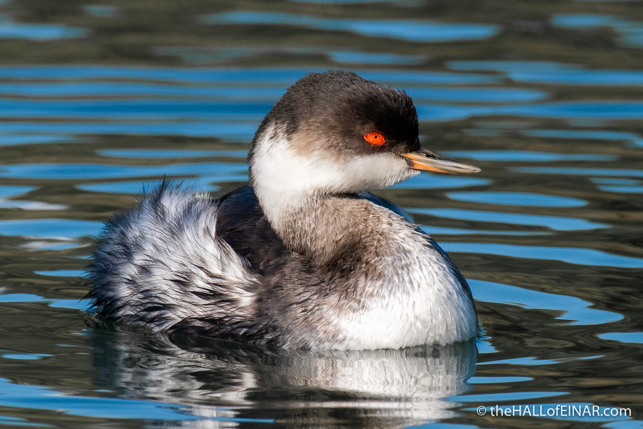 Black Necked Grebe - Orbetello - The Hall of Einar - photograph (c) David Bailey (not the)