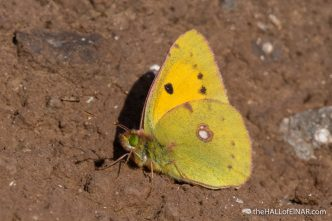 Clouded Yellow - Caffarella - The Hall of Einar - photograph (c) David Bailey (not the)