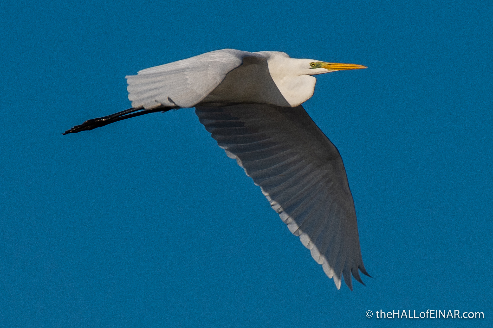 Great White Egret - Orbetello - The Hall of Einar - photograph (c) David Bailey (not the)