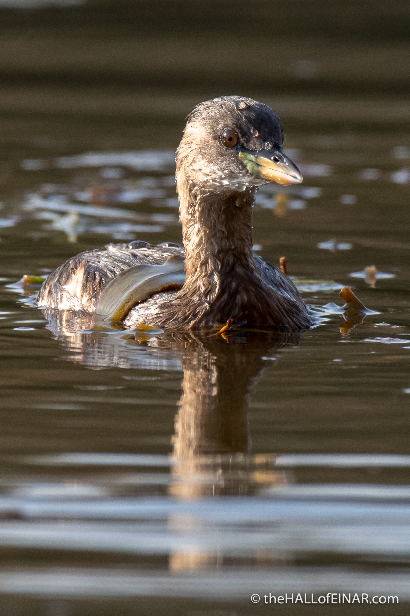 Little Grebe - Alviano - The Hall of Einar - photograph (c) David Bailey (not the)