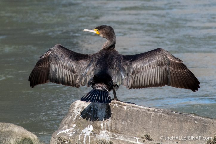 Cormorant on the Tevere - The Hall of Einar - photograph (c) David Bailey (not the)