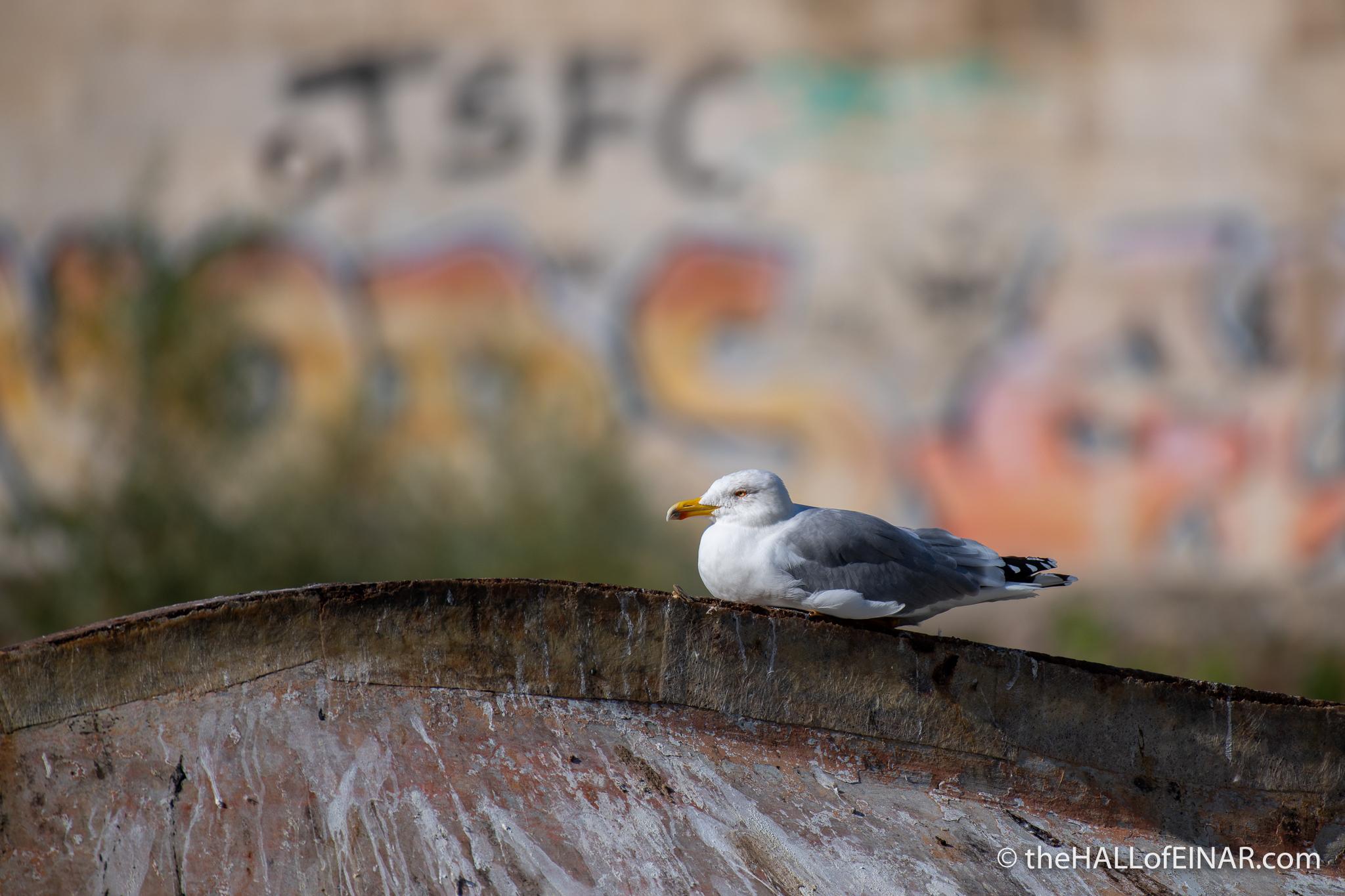 Yellow-Legged Gull - The Hall of Einar - photograph (c) David Bailey (not the)