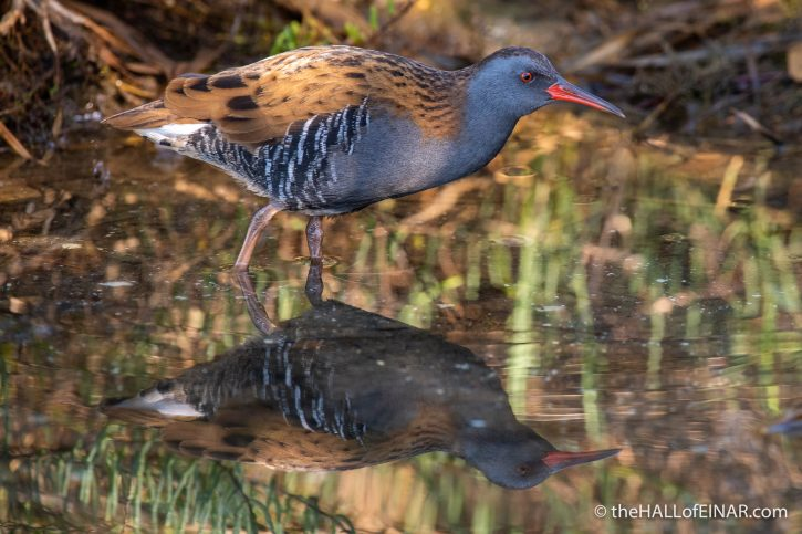 Water Rail - Orbetello - The Hall of Einar - photograph (c) David Bailey (not the)