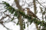 Mistle Thrush - The Hall of Einar - photograph (c) David Bailey (not the)
