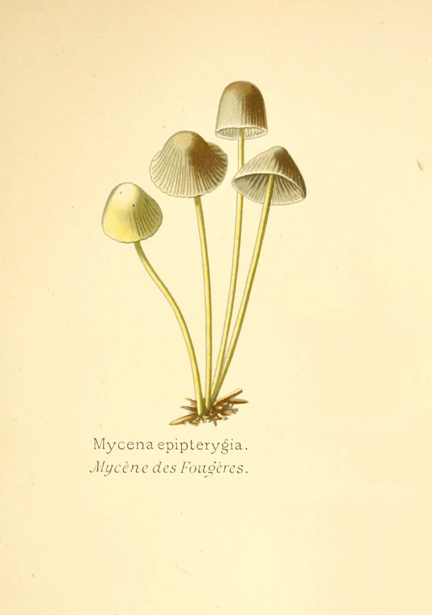 Mycena epipterygia - The Hall of Einar