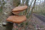 Birch Bracket Fungus - The Hall of Einar - photograph (c) David Bailey (not the)