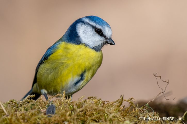 Blue Tit - Lago di Alviano - The Hall of Einar - photograph (c) David Bailey (not the)