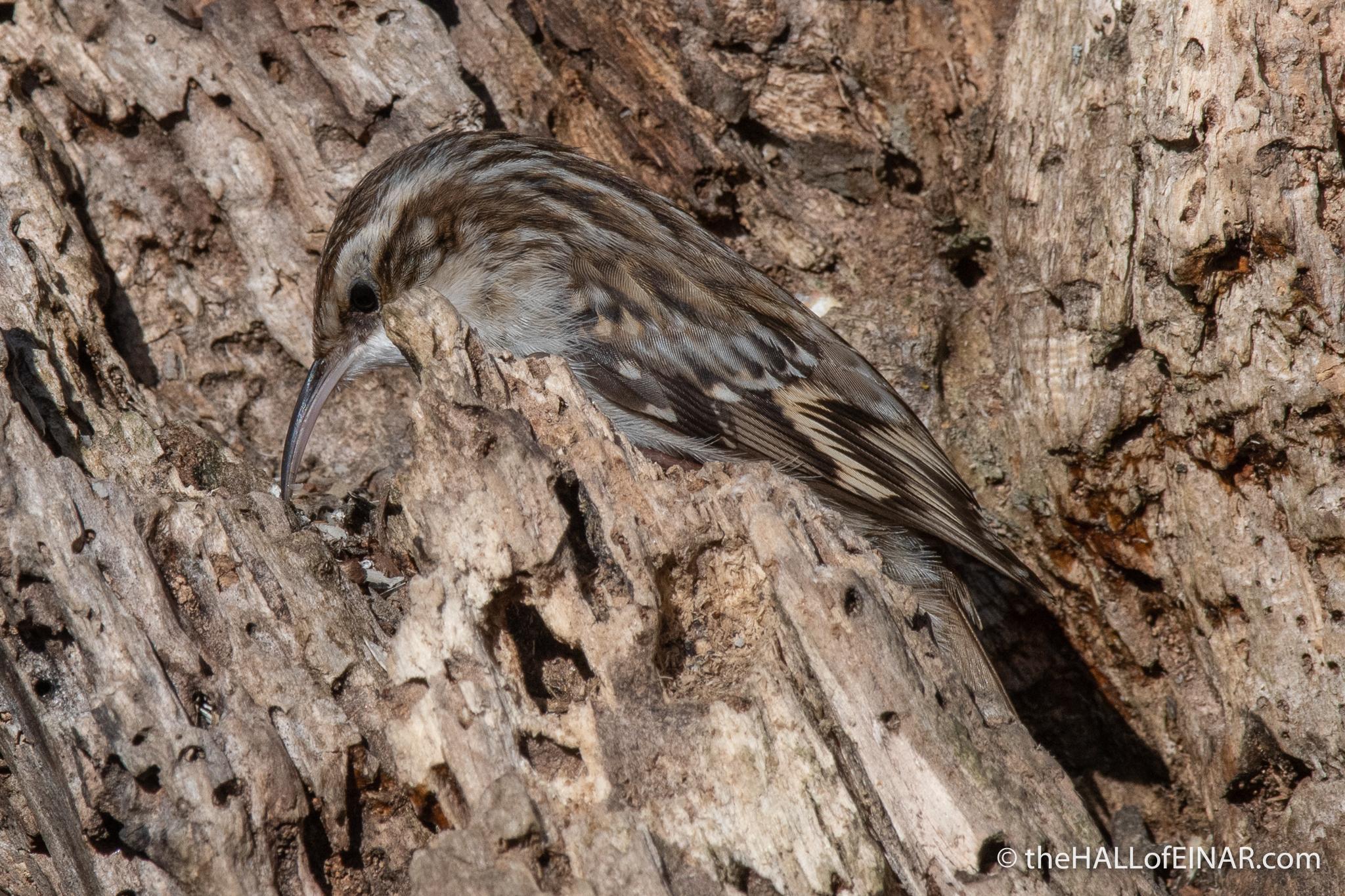 Short-Toed Treecreeper - Lago di Alviano - The Hall of Einar - photograph (c) David Bailey (not the)