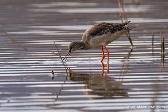 Spotted Redshank - Lago di Alviano - The Hall of Einar - photograph (c) David Bailey (not the)