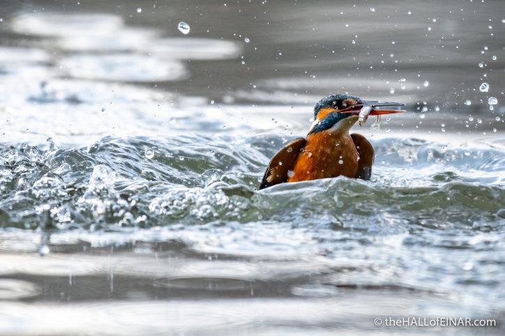 Kingfisher - Lago di Alviano - The Hall of Einar - photograph (c) David Bailey (not the)