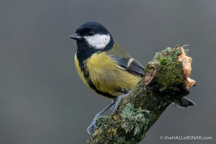 Great Tit - RSPB Greylake - The Hall of Einar - photograph (c) David Bailey (not the)