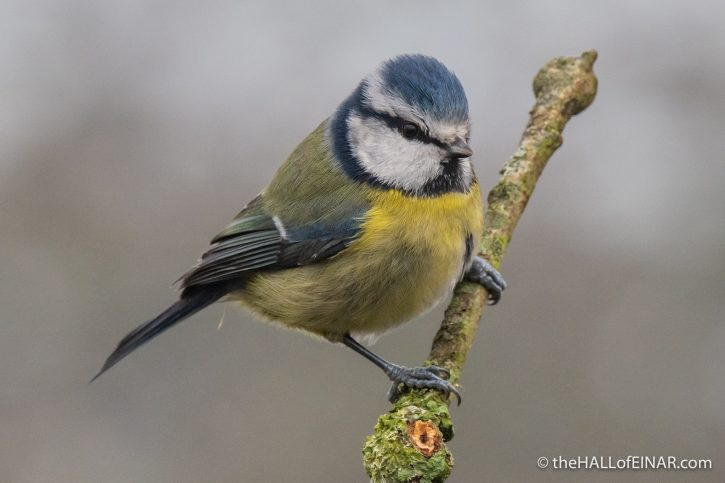 Blue Tit - RSPB Greylake - The Hall of Einar - photograph (c) David Bailey (not the)
