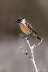 Stonechat - Caffarella - The Hall of Einar - photograph (c) David Bailey (not the)